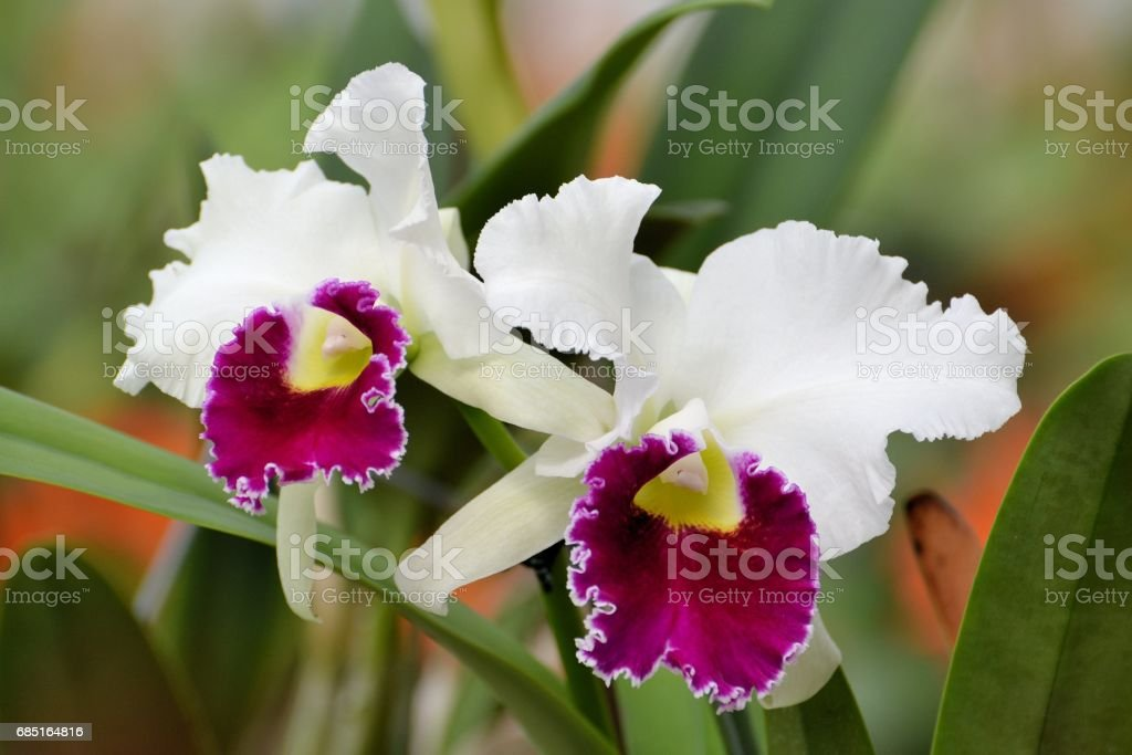Two Large White and Purple Orchids royalty-free stock photo