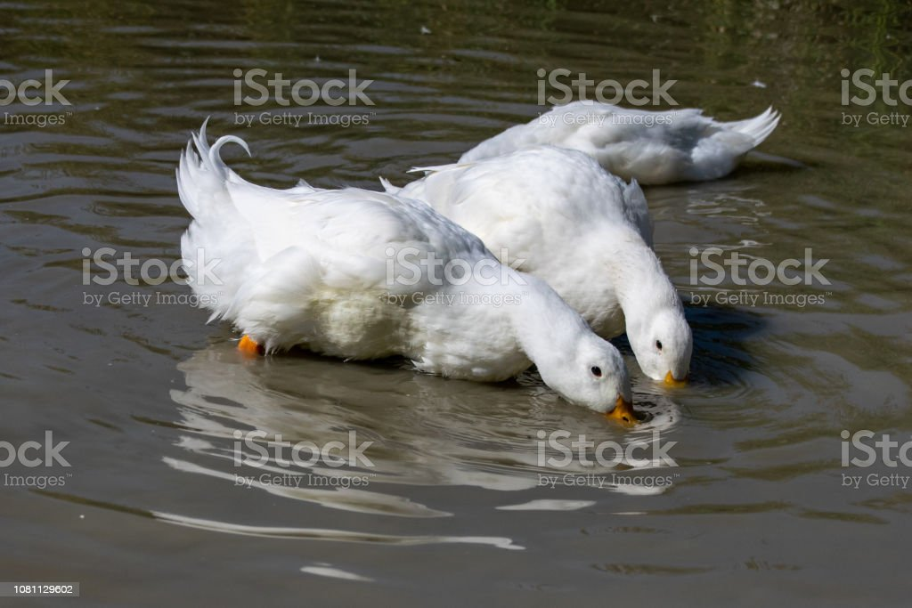 Two large white Aylesbury Pekin ducks with head below surface dabbling and searching for food stock photo
