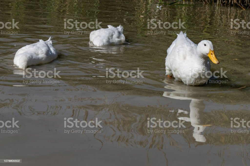 Two large white Aylesbury Pekin ducks with head below surface searching for food whilst a third looks away stock photo