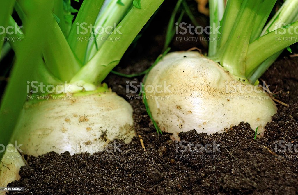 Two large white turnips on bed in ground stock photo