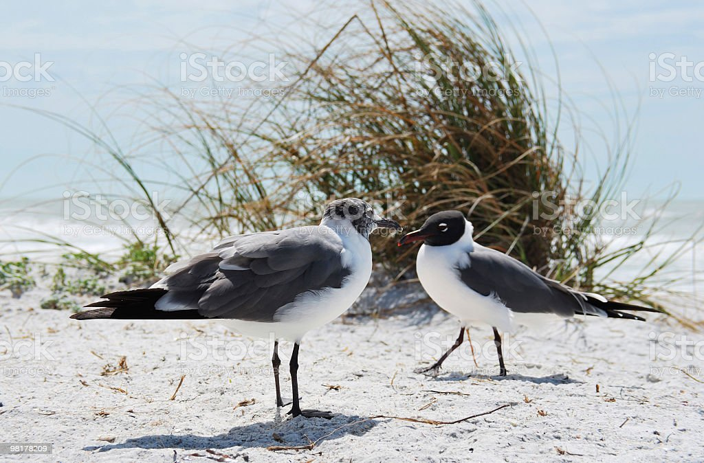 Two Laughing Gulls or Larus atricilla (Leucophaeus) Face One Another royalty-free stock photo