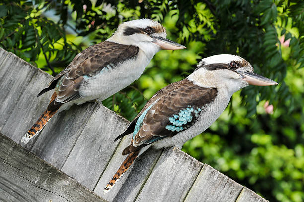 Two laughing kookaburra sit on a fence stock photo