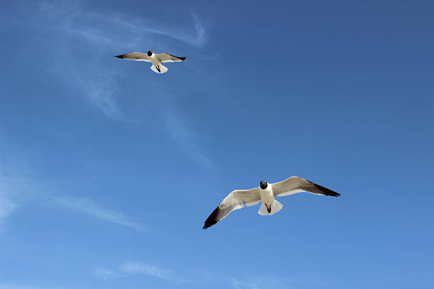 two laughing seagulls in flight - pam schodt stock photos and pictures