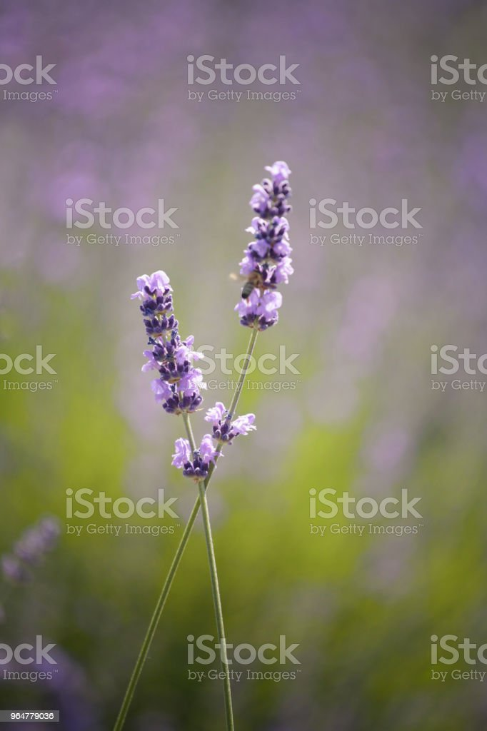 two lavender flower royalty-free stock photo