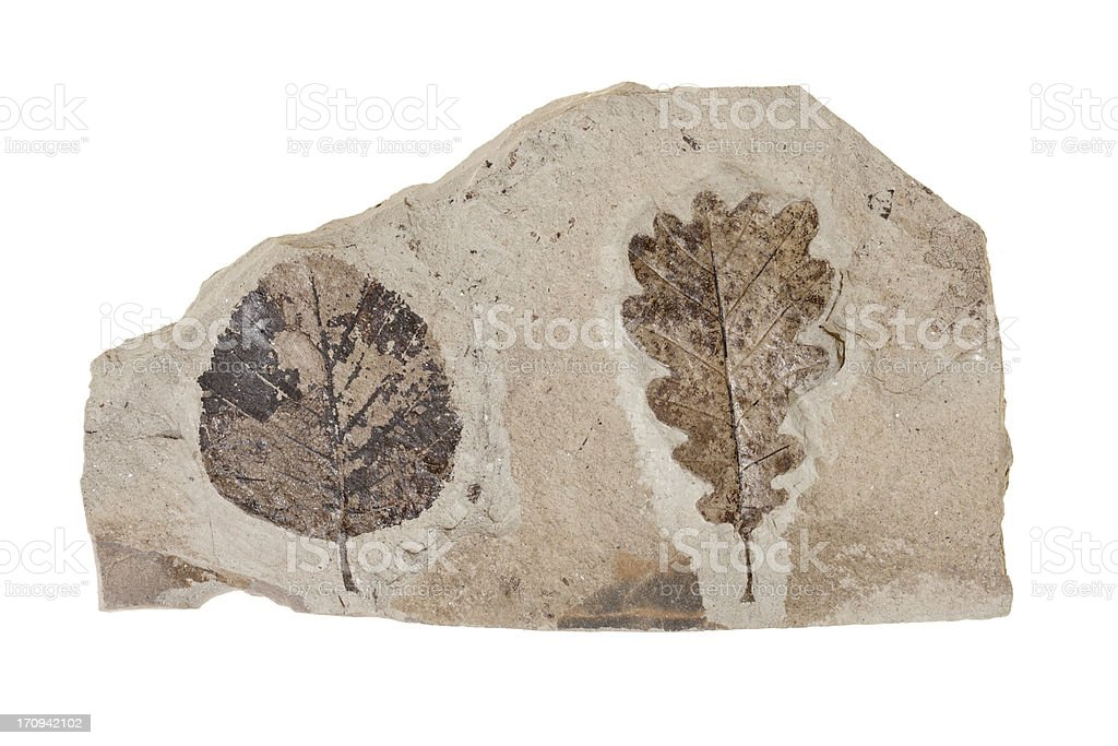 Two leafs fossil on white background stock photo