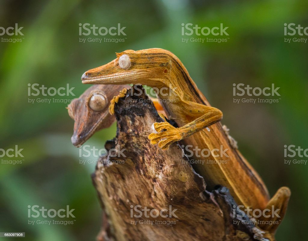 Two leaf-tailed gecko sitting on a branch. stock photo