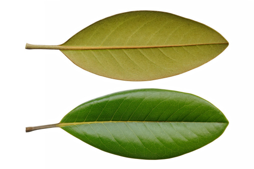 Two leaves from front and rear view