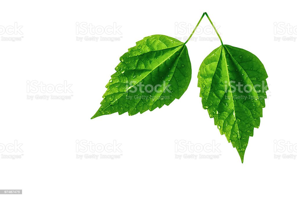 Two leaves isolated on white royalty-free stock photo