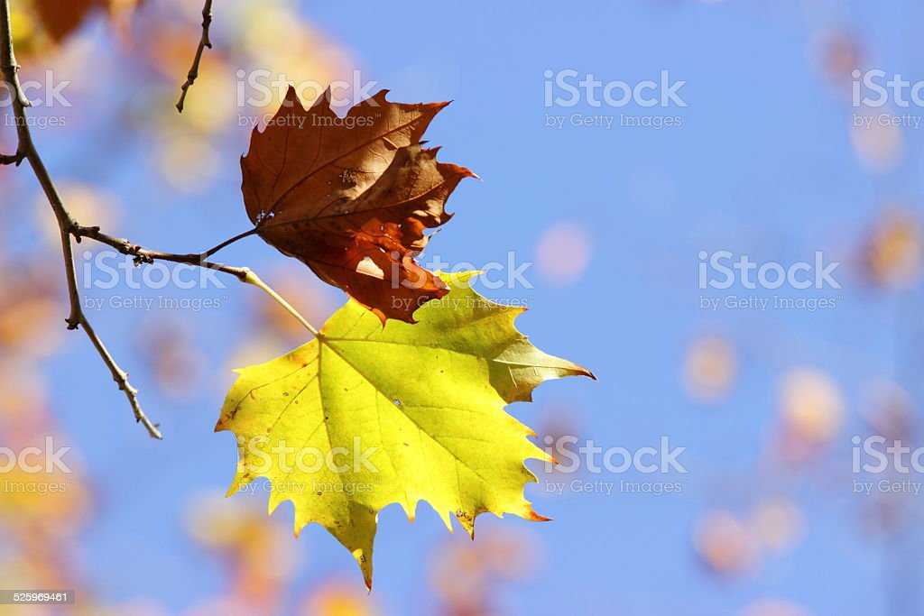 Two leaves on a twig stock photo