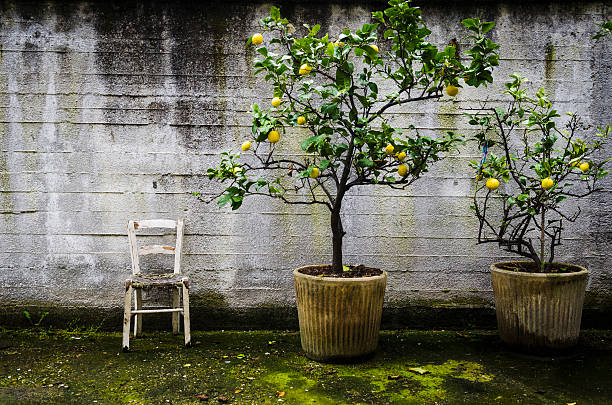 two lemon trees and an old white chair foto
