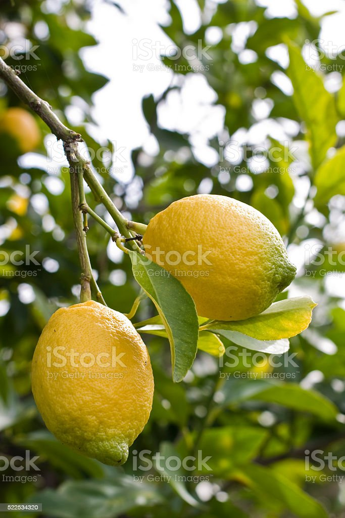 two lemons on a tree Sicilian lemons on a tree, in lemon orchard. Lemon fruit is an excellent source of Vitamin C. Photo taken in February. Agriculture Stock Photo