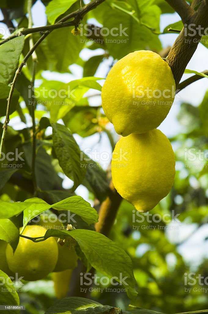 Two citrons royalty-free stock photo