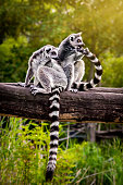 Two Ring-tailed lemurs on fallen tree trunk in the front of dense vegetation. One of them grooming itself tail fur. Sunbeams break through treetops in the background.