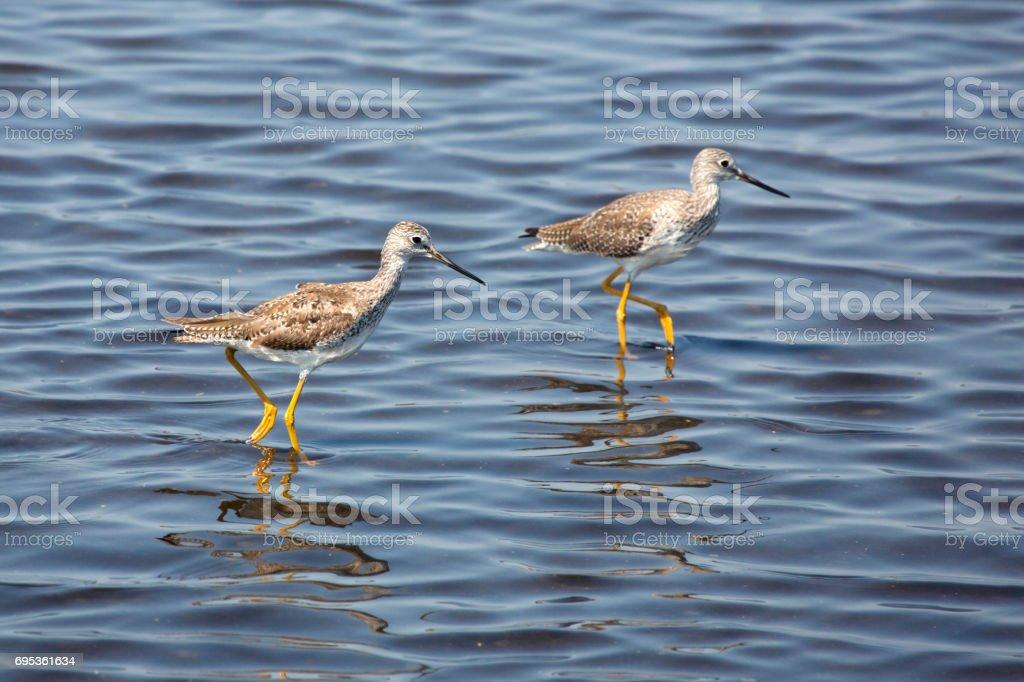 Two lesser yellowlegs wading in a pond, Merritt Island, Florida. stock photo