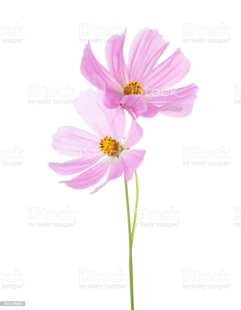 Two light pink Cosmos flowers isolated on white background. Garden Cosmos stock photo