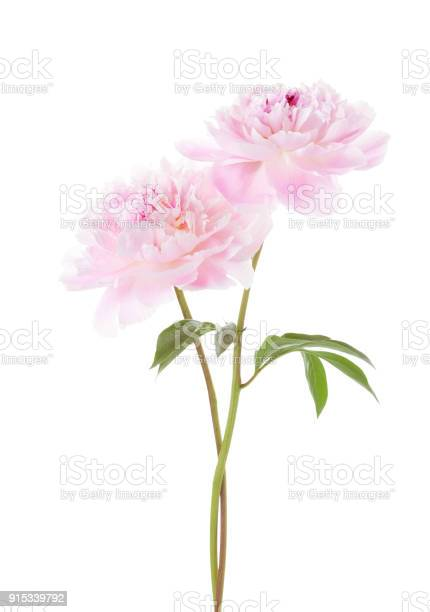 Two light pink peonies isolated on white background picture id915339792?b=1&k=6&m=915339792&s=612x612&h=4gigthbzdejo2gqyxplvwqnozplinptxirfl5lvstgi=