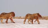 Lion watches impala nearing the waterhole