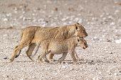 Lion (Panthera leo) in Etosha National Park, Namibia.