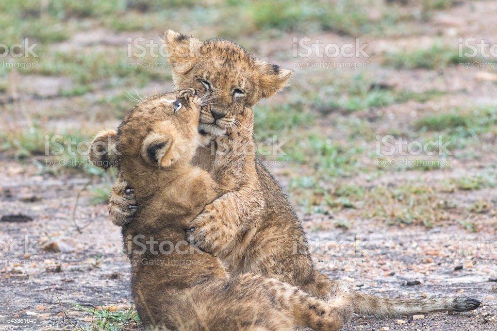 Two lion cubs fighting, Masai Mara stock photo