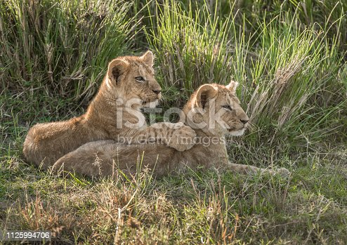 Two affectionate lion cubs resting in the grass in late evening sunlight in the Masai Mara, Kenya, with one cub resting its paw on the other cub