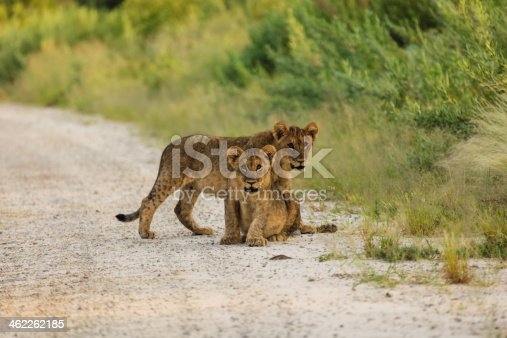 Two lion cubs interrupt their play to look at photographer in Etosha National Park, Namibia