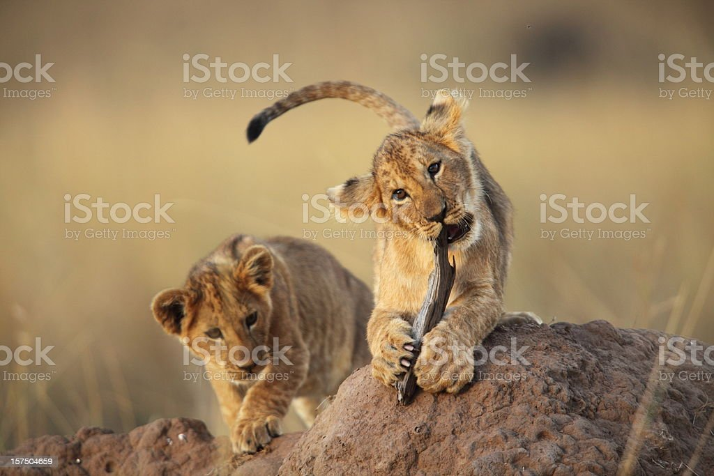 Two lion cubs playing on a dirt mound in the savanna grass stock photo