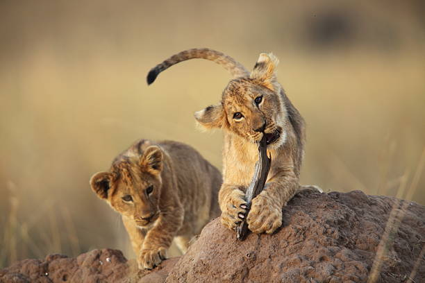 Two lion cubs playing on a dirt mound in the savanna grass Two cute little lion cubs playing with a stick, on a termite mound in the Masai Mara, Kenya lion cub stock pictures, royalty-free photos & images