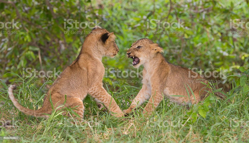 Two lion cubs (Panthera leo) playing stock photo