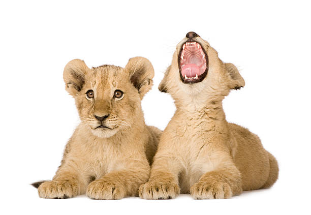 Two lion cubs with one yawning on a white background Lion Cub (4 months)  in front of a white background. lion cub stock pictures, royalty-free photos & images