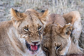 Two lioness eating the flesh of waterbuck in Maasai Mara triangle after hunting