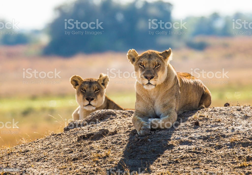 Two lionesses are lying on the hill. stock photo