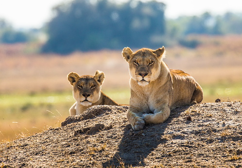 Two Lionesses Are Lying On The Hill Stock Photo - Download Image Now