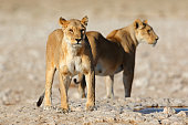 Lioness stalking in the savannah in the dry season,Etosha National Park,Namibia.
