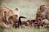 Lionesses eating their hunt in the wild.