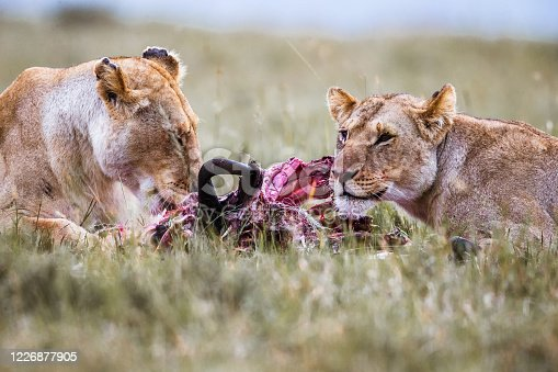 Lionesses eating their hunt in the wild. Copy space.