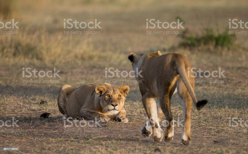Two lionesses in the Savannah. royalty-free stock photo