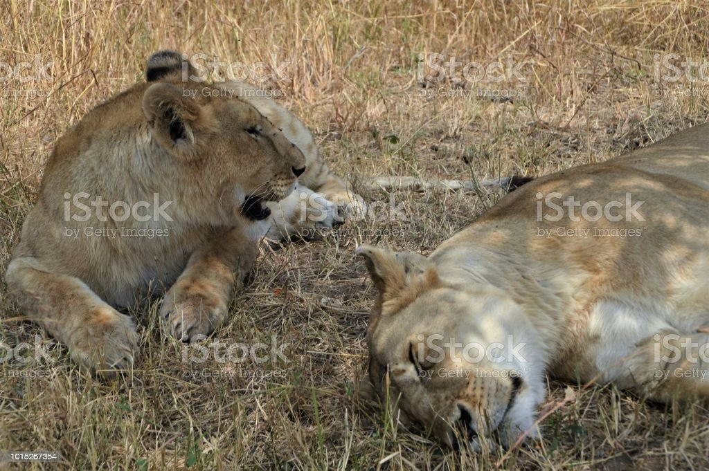 Two lionesses resting stock photo
