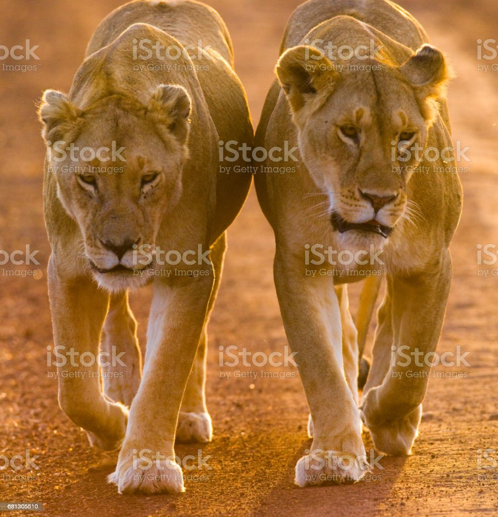 Two lionesses walking on the road in the national park. royalty-free stock photo