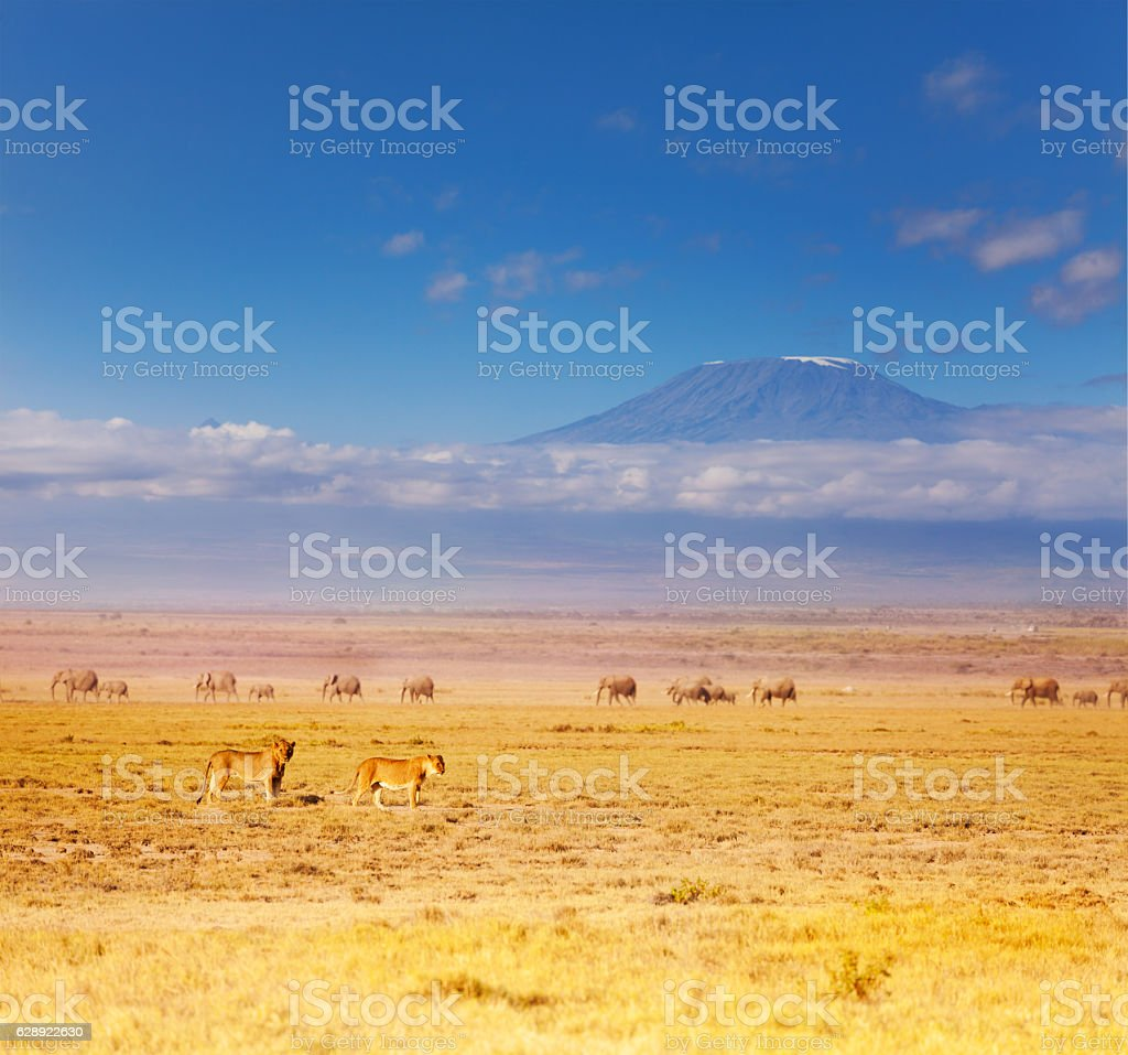 Two lions at savannah during Great migration stock photo