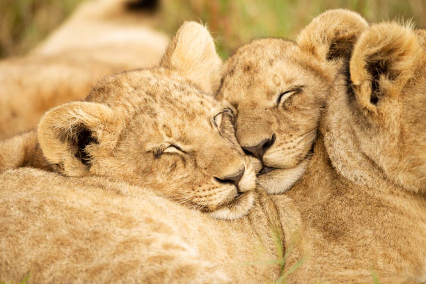 Two lions cubs nuzzle heads together Lion cubs nuzzling their heads together on sibling's back, in the Masai Mara National Park, Kenya animal family stock pictures, royalty-free photos & images