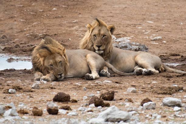 Zwei Löwen im Etosha-Nationalpark Zwei Löwe am Wasserloch im Etosha-Nationalpark z_wei stock pictures, royalty-free photos & images