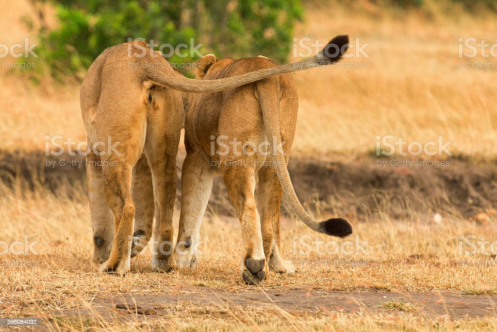 Two lions in Masai Mara royalty-free stock photo