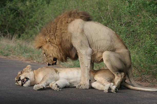 Due leoni accoppiamento - foto stock