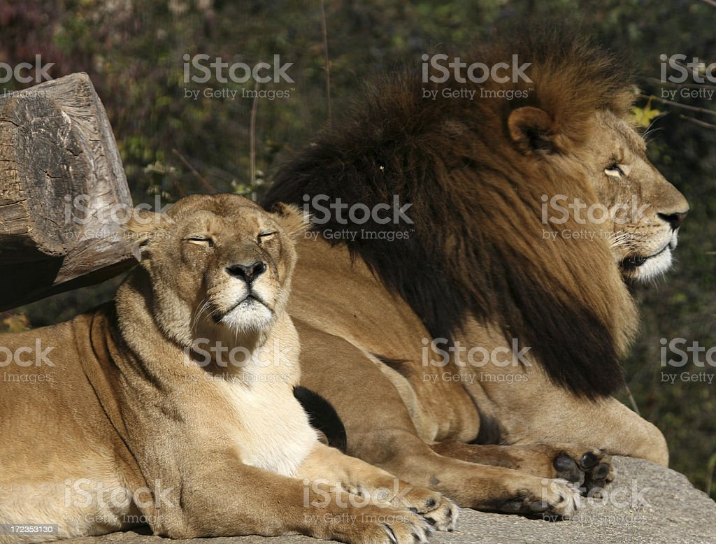 Two Lions royalty-free stock photo