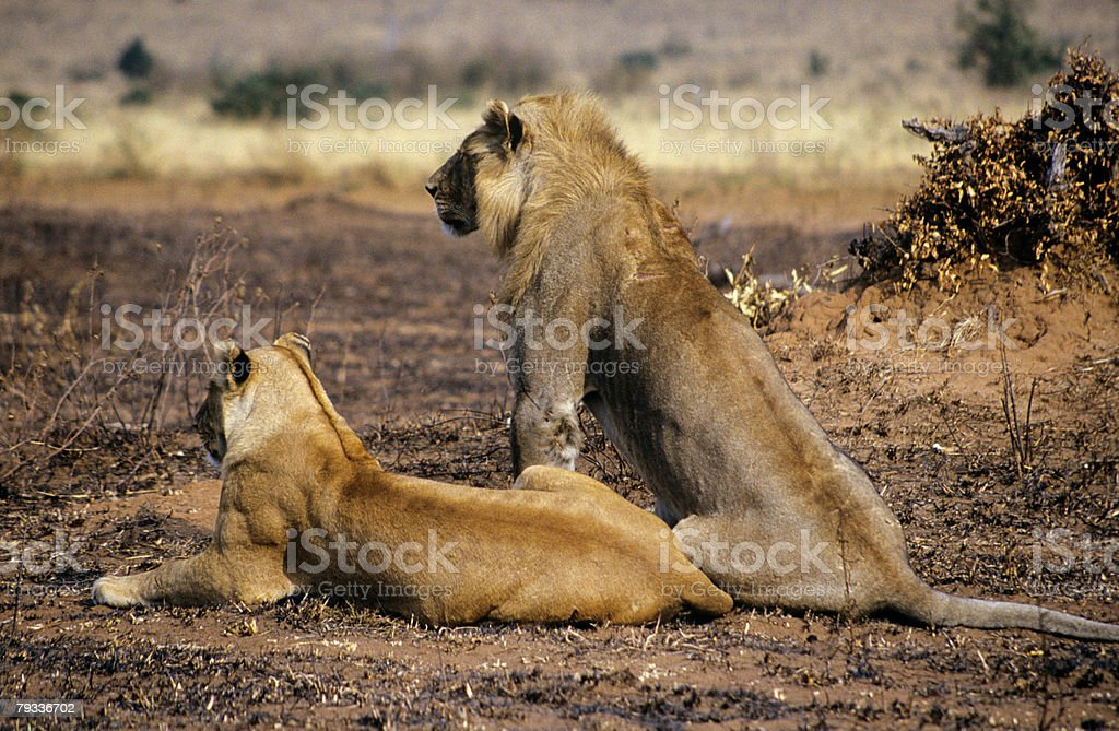 Two lions stock photo