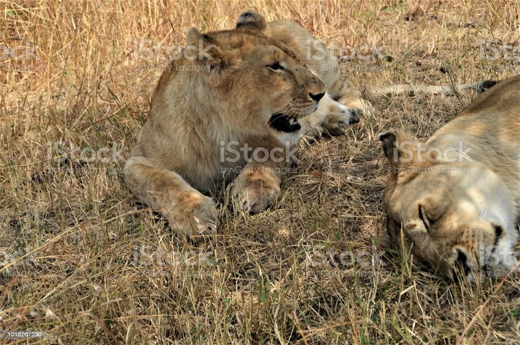 Two lions resting stock photo