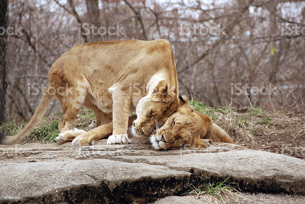 two lions rubbing heads royalty free stockfoto