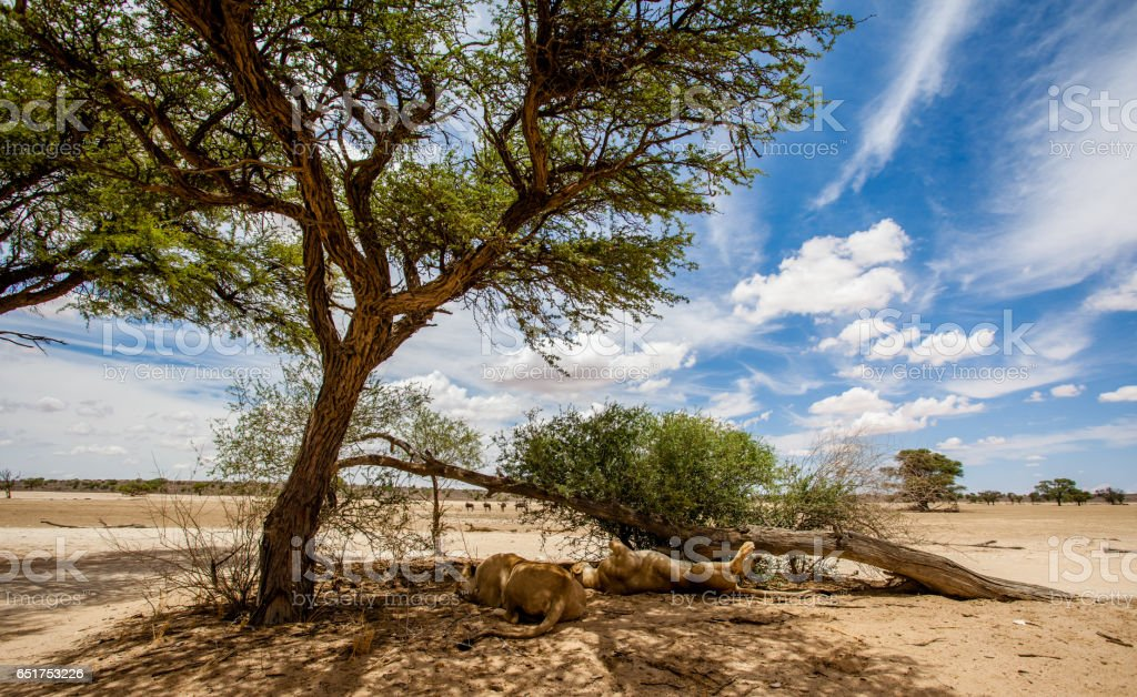 Two lions sleeping under a tree in the Kgalagadi park, South Africa stock photo