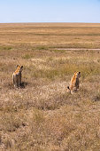 Two lions walking and hunting in the savannah, in Tanzania, looking for a prey