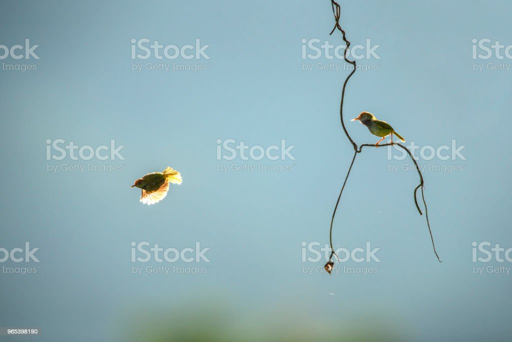 Two little birds fun in the morning. Dark-necked Tailorbird zbiór zdjęć royalty-free